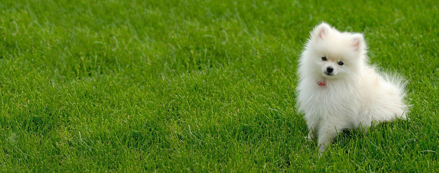 How to Train a Pomeranian Puppy to Not Bark
