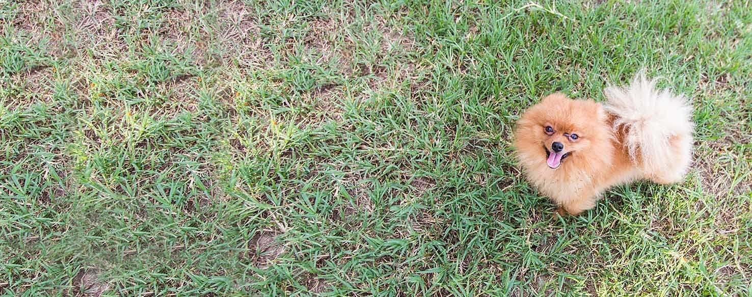 How To Train A Pomeranian To Be Calm Wag
