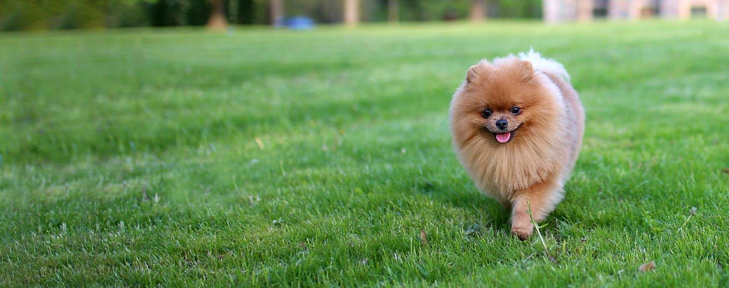 How To Train A Pomeranian To Come Wag