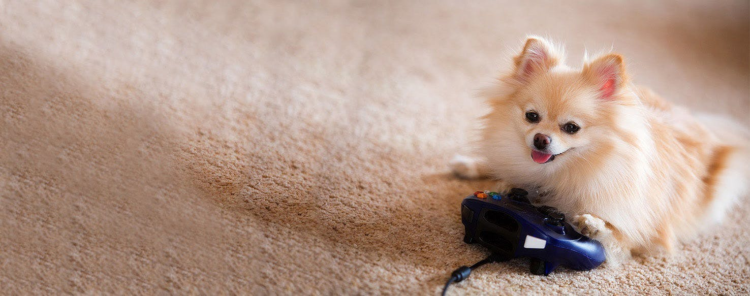 How To Train A Pomeranian To Stop Play Biting Wag