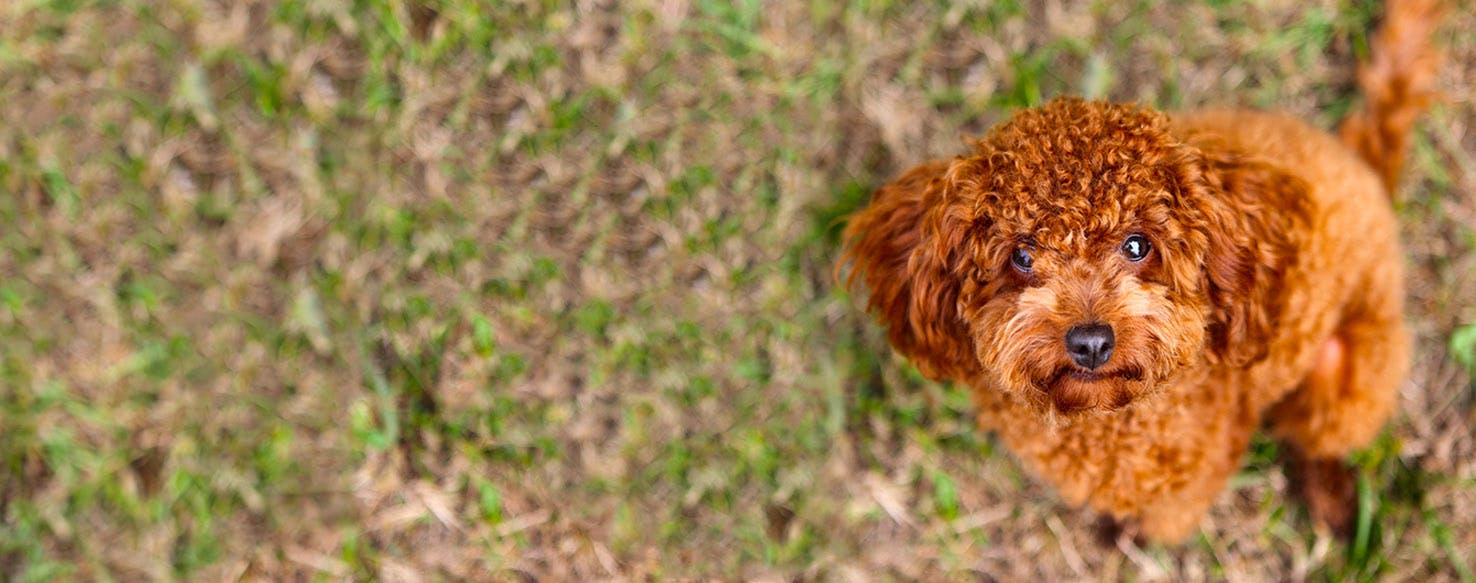 How To Train A Poodle Puppy To Sit Wag