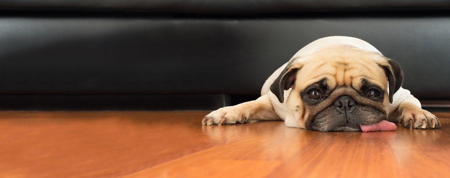 How to Train a Pug to Lie Down
