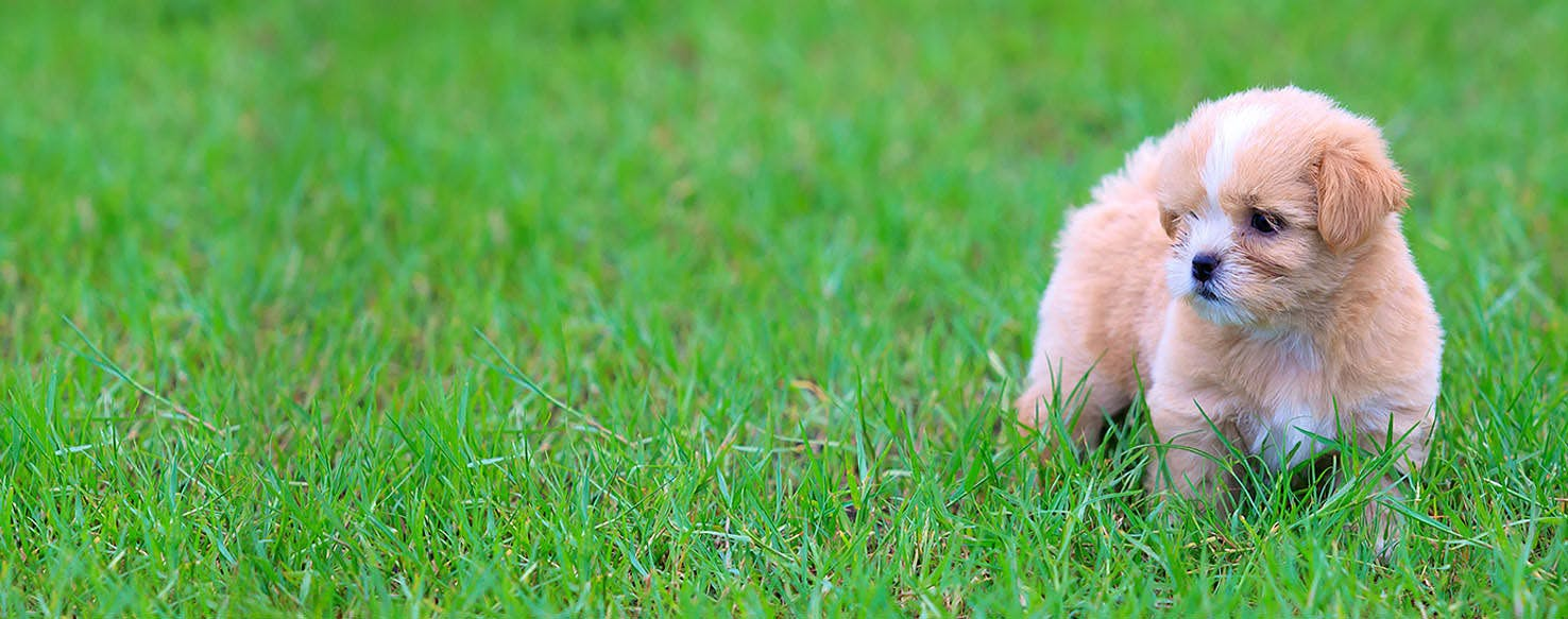 How To Train A Shih Tzu Puppy Easy Tricks