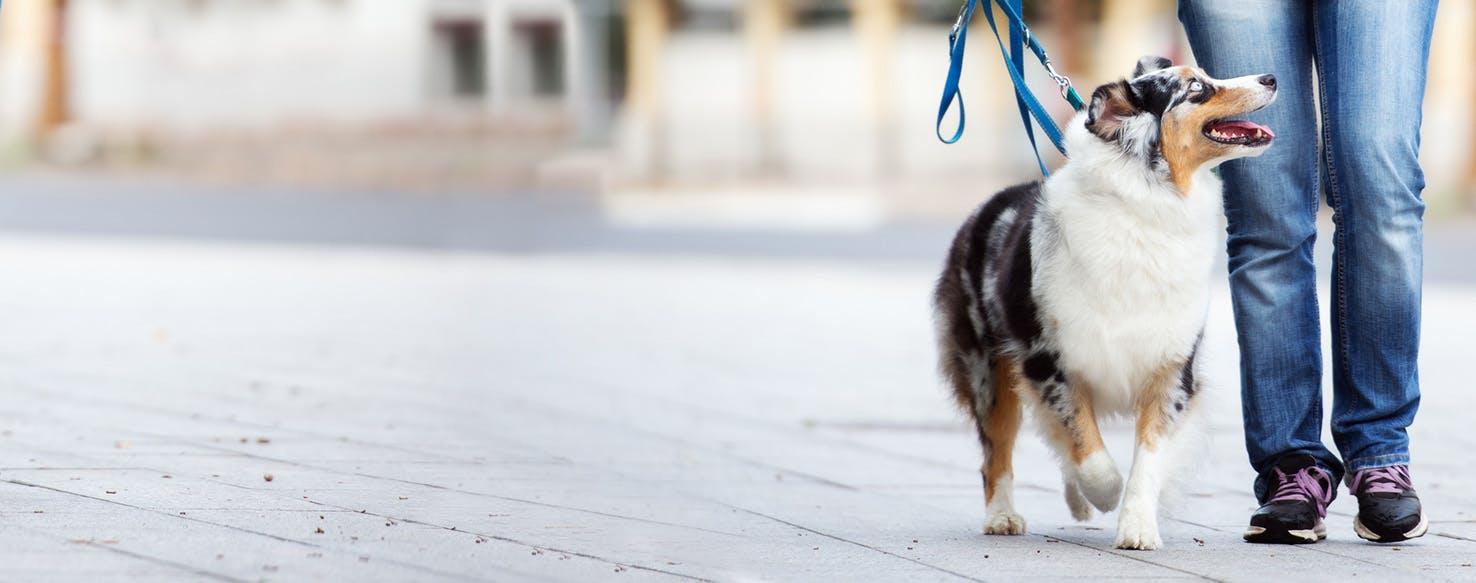 How To Train An Australian Shepherd To Walk On A Leash Wag
