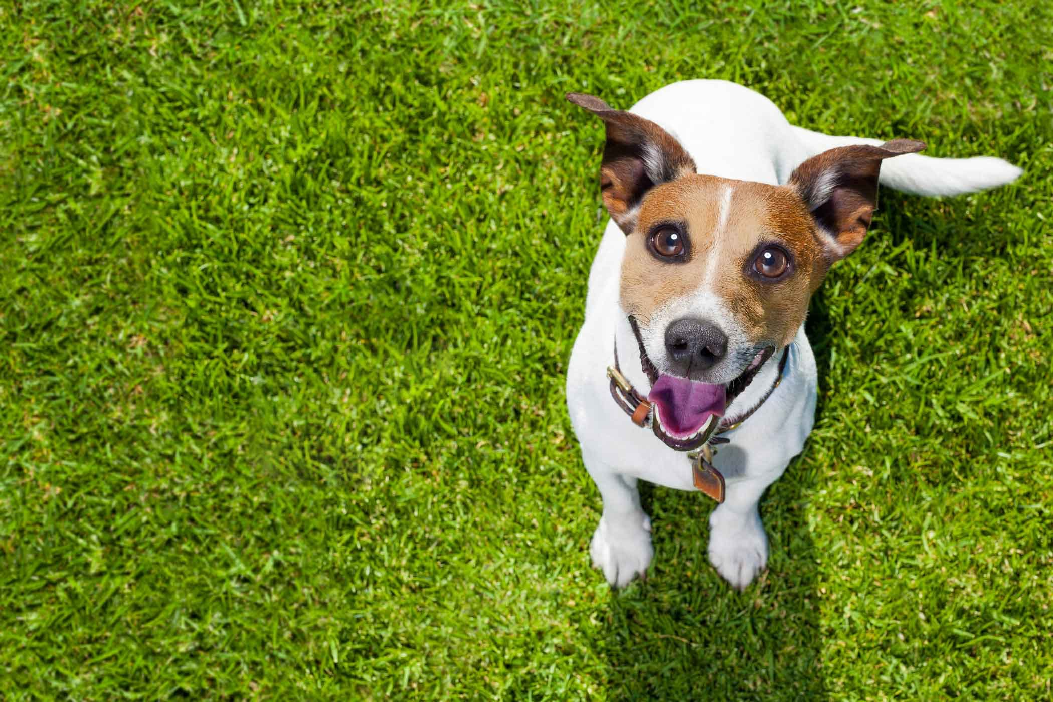 How To Train Your Dog To Use Fake Grass